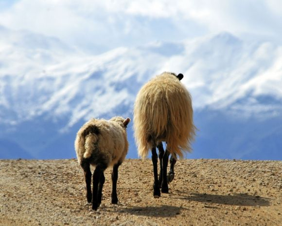 A couple of sheep head south over a hill on the Akrotiri with the majestic White Mountains of Chania as the backdrop.