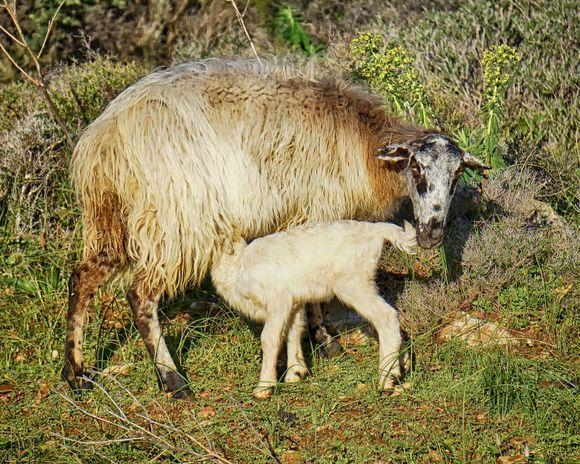 Ewe and nursing lamb