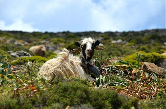 Goats Princess
