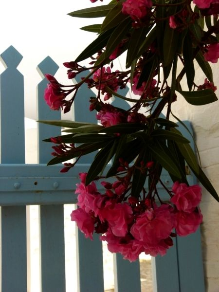 Pink blooms hanging in front of blue wicket...