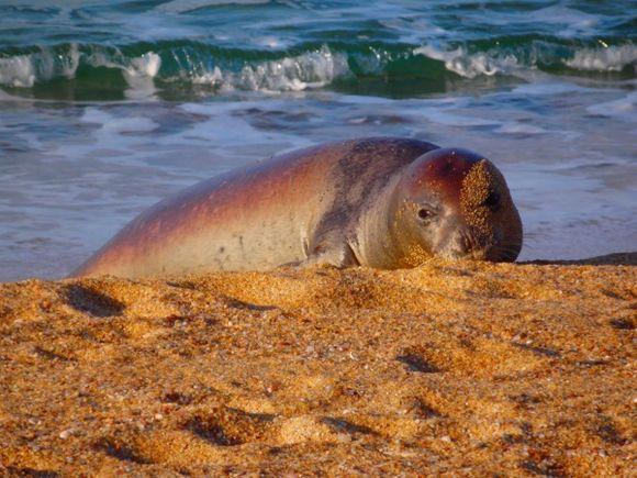 One Of Under 600 Mediterranean monk seals left in the world. 27/12/15.