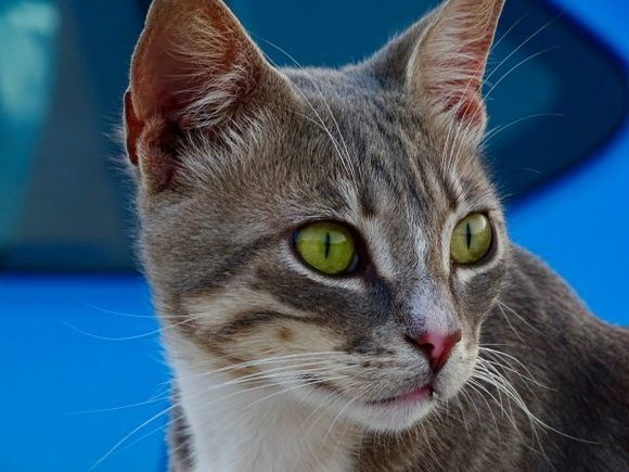 Milos cat