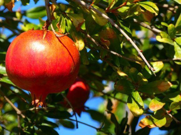 Pomegranata tree outside Palekastro