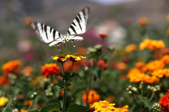 Butterfly and vivid flowers in Aghios Nektarios garden