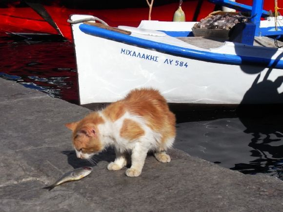 Cat ready to eat a fish at Hydra town harbour