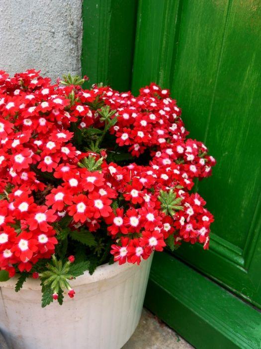 Green door, red flowers