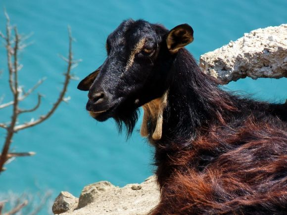 Wild goat standing on the rocks overlooking Kendros beach