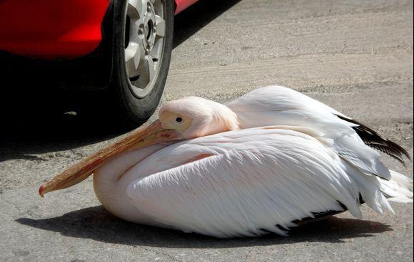 Pelican near red car, Tinos town