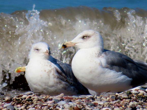 Rough sea with seagulls, Isxia beach