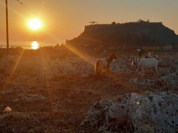 Goats at the acropolis