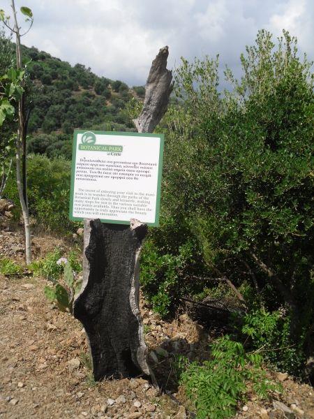 Burnt Olive Tree