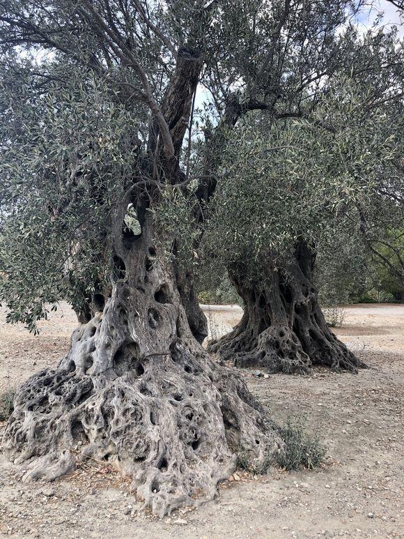 millennial olive trees. Gortys. Kriti