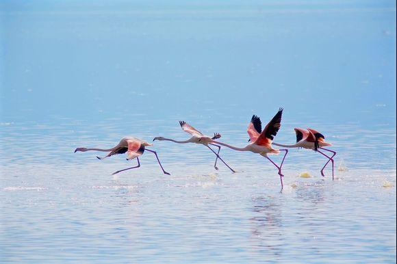 Ballet on water: Kerkini flamingos!