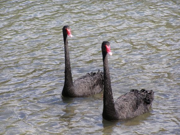Koukounaries black swans