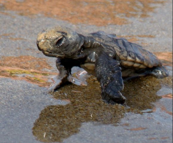 Baby turtle meets his home for thie first time ... a once in a lifetime experience at Laganas Beach - in the protected area.