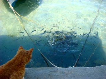 Cat looking at fish in the village of Cheronissos, Sifnos