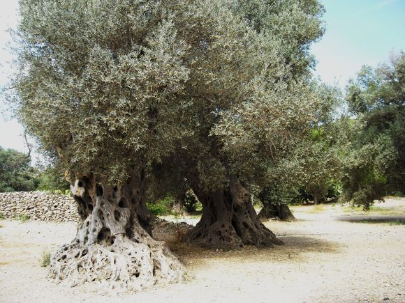Ancient olive trees in Gortyn