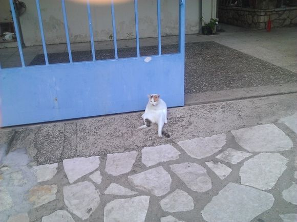 A real Greek cat in Agios Nikitas...