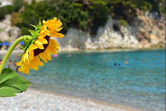 Sunflower over the sea