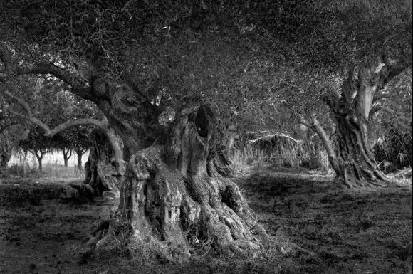 This massive olive tree near Keri is over 1.000 years old