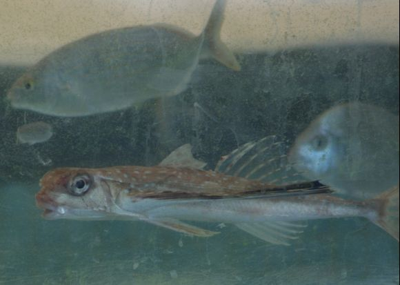 Resident of fish tank Posidonio