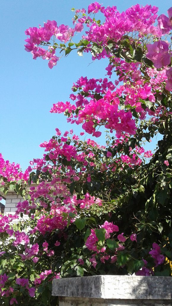 lovely bougenvillia in Nafpaktos exactly a year ago