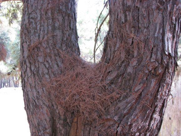 Venetian castle- Dried pine leaves.