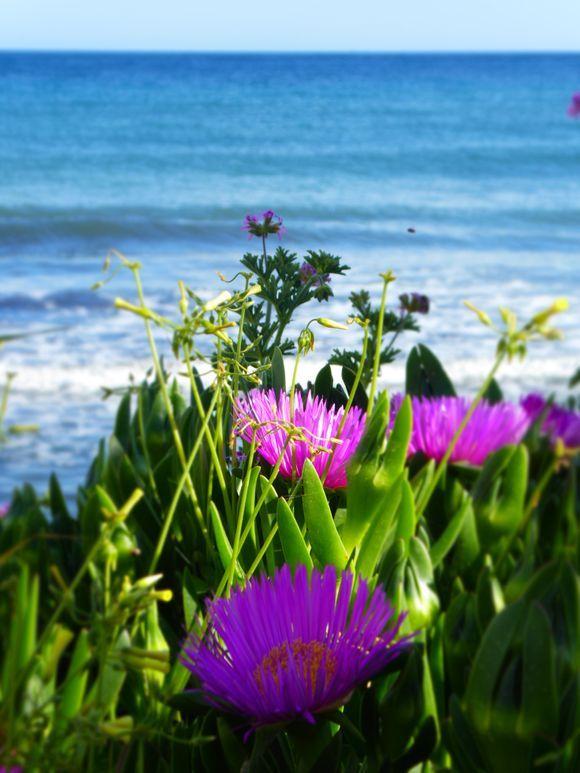 Coastal flowers - Aegina