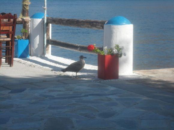Orphaned gull on Telendos
