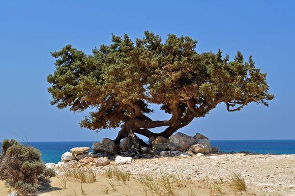 The famous Pyrgaki Tree