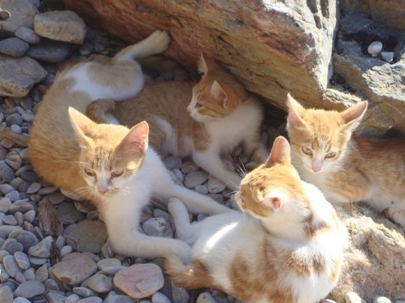 Mummy cat and kittens relaxing at Megali Ammos