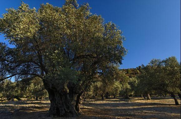 Trees near Kalathos