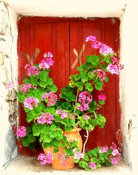 This 'window box' of gnarly, pink geraniums caught my eye while exploring the old houses built on a hill in the village of Fodele.