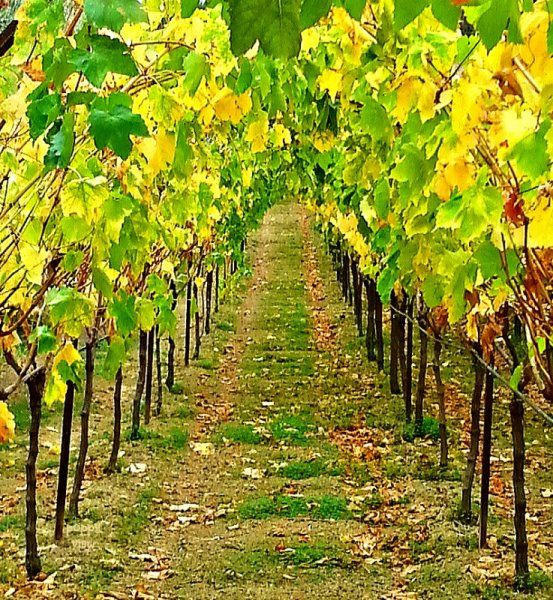 I pass this vineyard every day, in the autumn, sometimes on a leisurely stroll, other times on a brisk walk. Regardless, its morphing colours and changing textures always make me pause, for grape leaves are to Crete, what maple leaves are to Canada, in the fall.